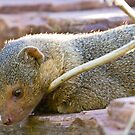 Mongoose by Philip Alexander