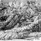 Palms in Black & White by Susan Gottberg