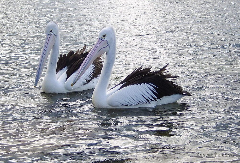 A couple of Pelican by Zeevat Tuladhar