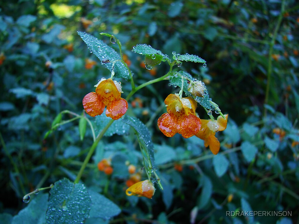 JEWELL WEED IN THE EARLY MORNING DEW by RDRAKEPERKINSON