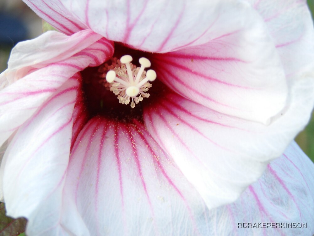 CLOSE UP ON A HIBISCUS by RDRAKEPERKINSON