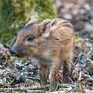 Wild boar (Sus scrofa) by Stephen Liptrot