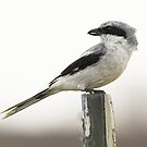 Loggerhead Shrike by SuddenJim