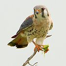 American Kestrel by SuddenJim