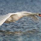 Mute swan by peaky40