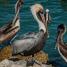 The Pelican King  by John  Kapusta