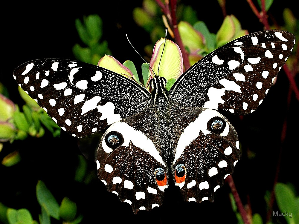 Citrus Swallowtail by Macky