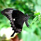 Peacock Swallowtail by Macky