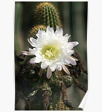 White Cactus Bloom Poster