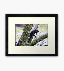 Iowa Black Squirrel Framed Print