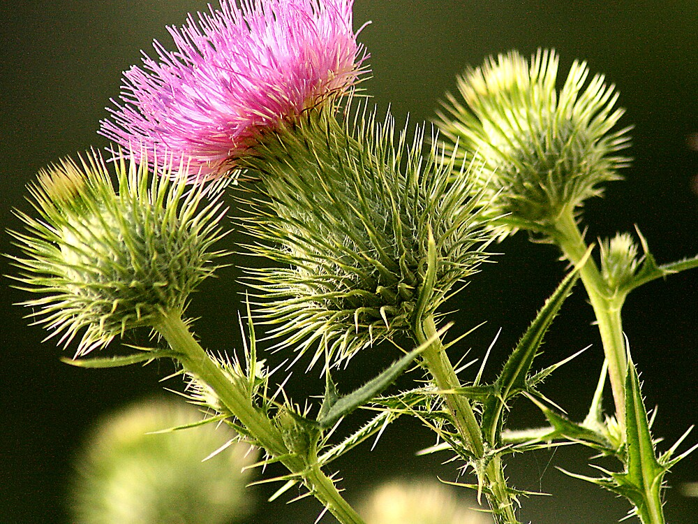 The mighty thistle by rutger
