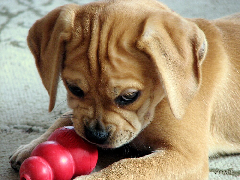 A Puggle by AnneRN
