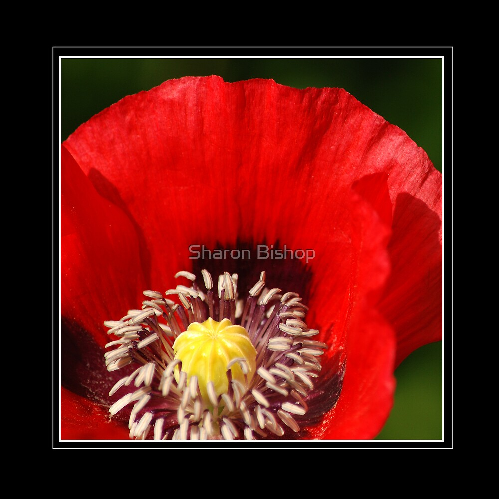Red poppy by Sharon Bishop