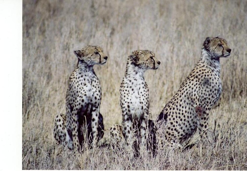 Leopards by photoblind