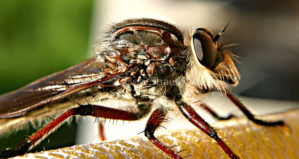 Robber fly by Ben Shaw