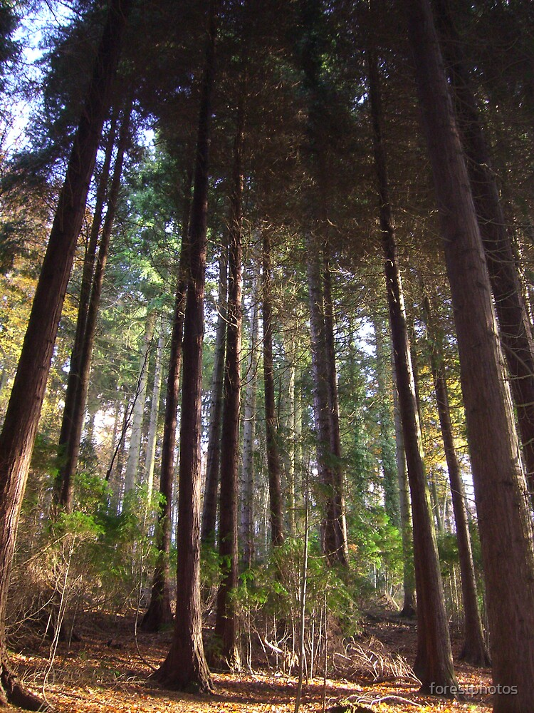 Pine Tree Woods by forestphotos
