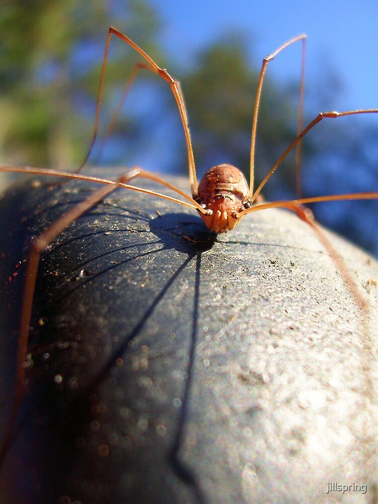 Daddy Long Legs by jillspring