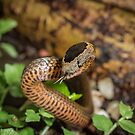 Golden-crowned Snake - Cacophis squamulosus by Normf