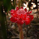 Red Torch - Etlingera Elatior by Paul Gilbert