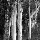 Ghost Gums at Dawn, Hill End by David Mapletoft