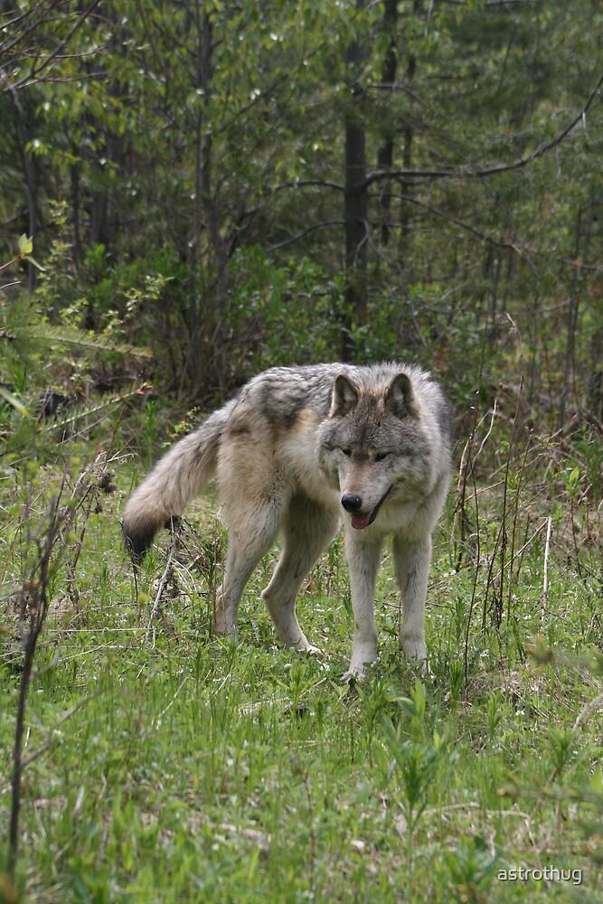wolf by astrothug