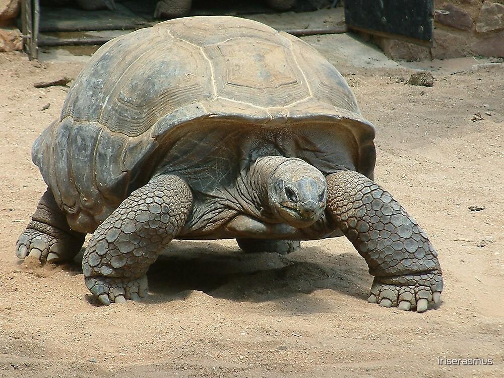 Tortoise by iriserasmus