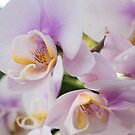 White Soft Orchids Blooming by zinchik