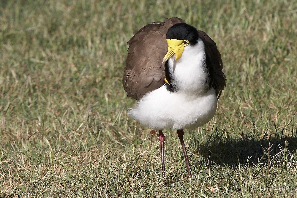 """Masked Lapwing (Spur-winged Plover) ~ """"Dagger Drawn""""  by Robert Elliott"""