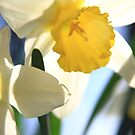 Daffs in the sun by ClaireWroe