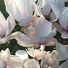 Magnolia Blossoms by Billlee