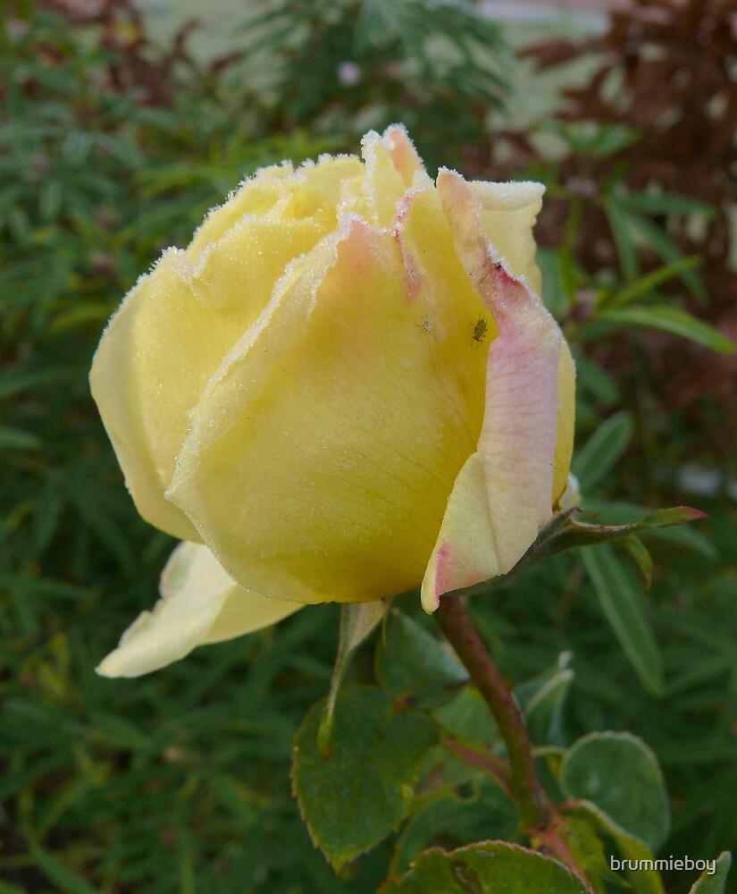 Frozen rose by brummieboy