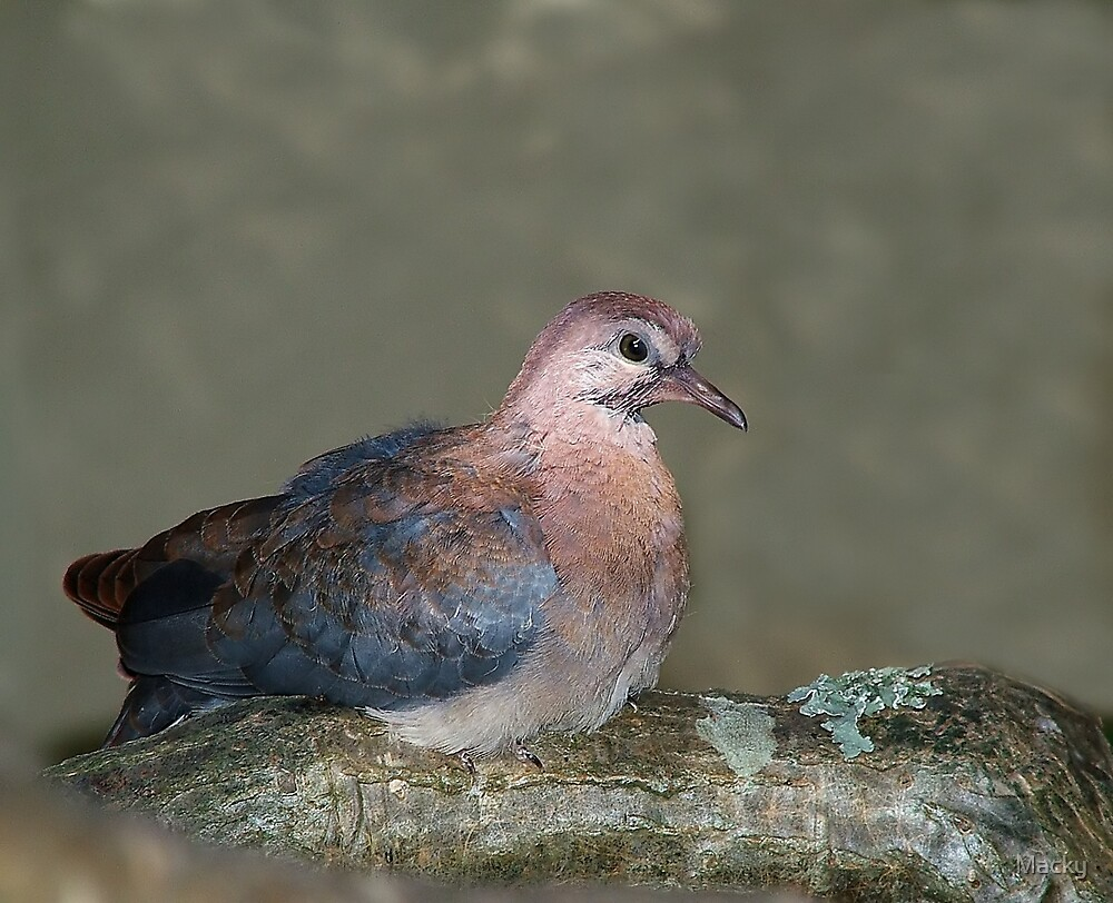 Young Dove by Macky