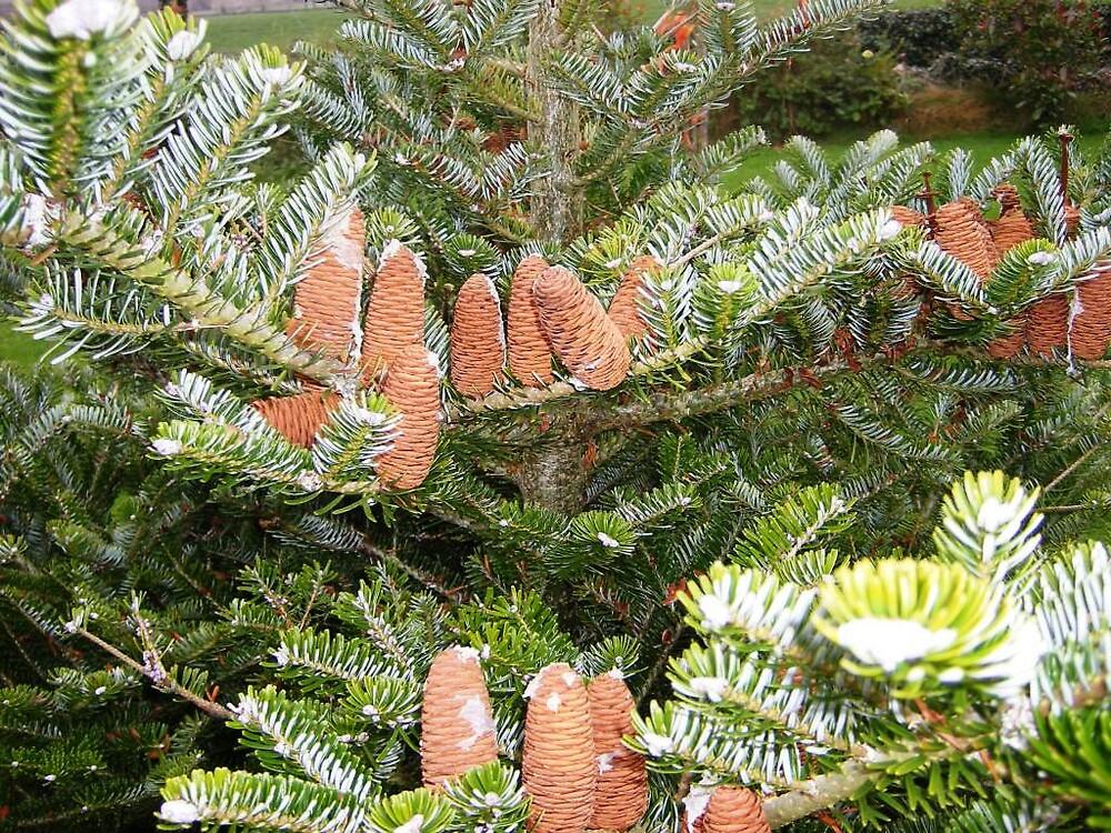 Cone Tree by Patrick Ronan