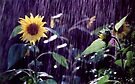 Sunflower Sunshower by Wayne King