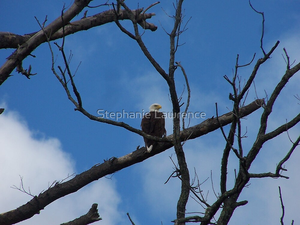 Eagle Amid the Branches by Stephanie Lawrence