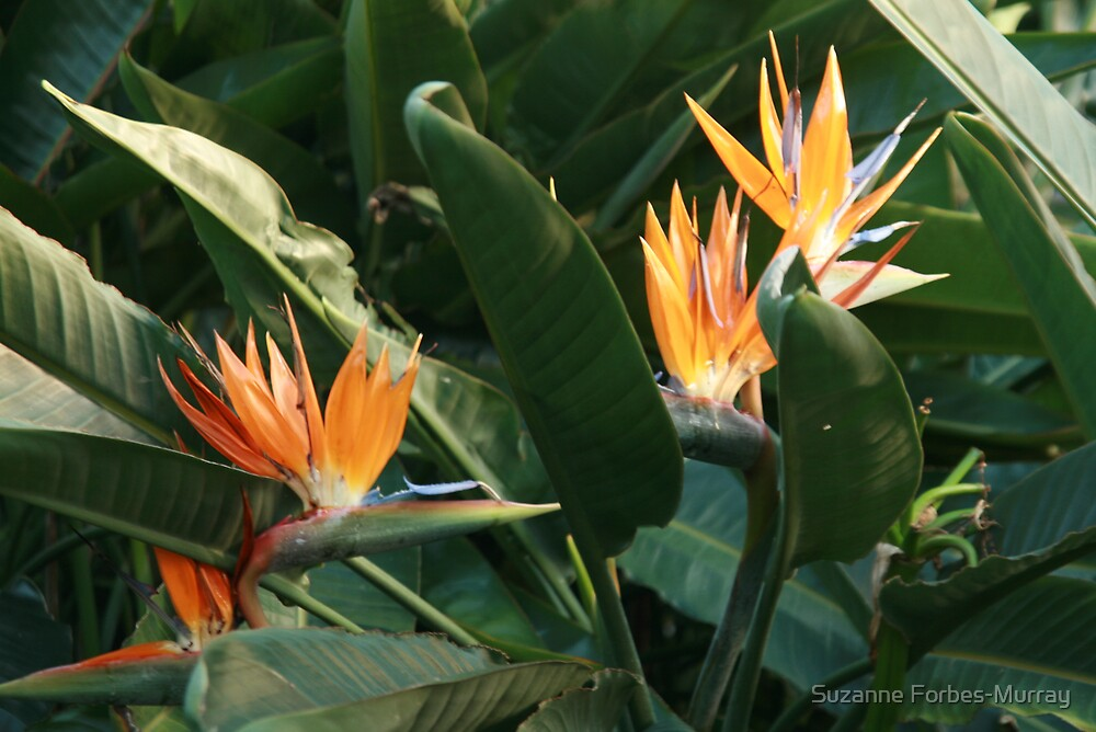 Bird of Paradise by Suzanne Forbes-Murray