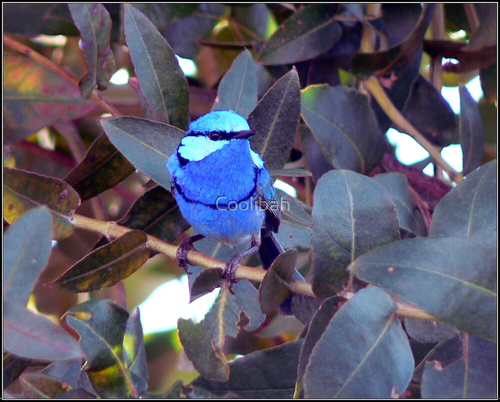 Blue Wren Blue Gum by Ruth Anne  Stevens
