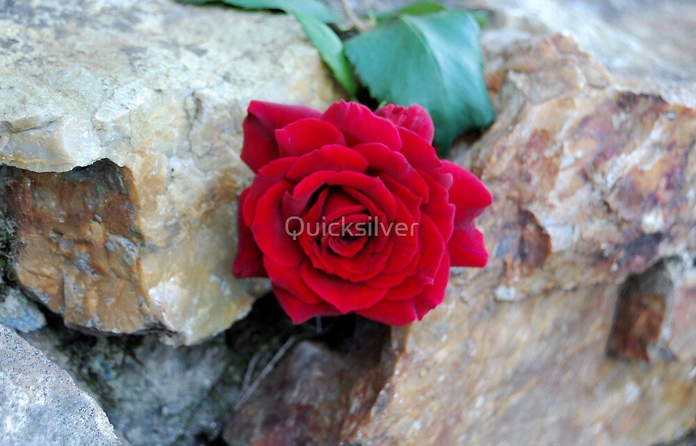 Rose by Quicksilver