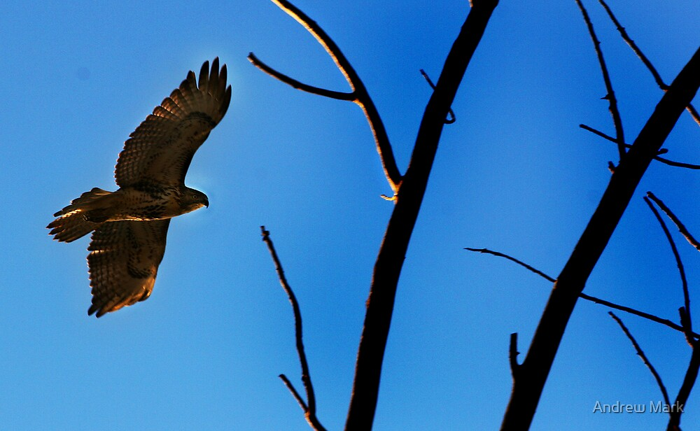 Hawk eYe by Andrew Mark