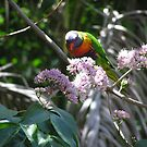 A colourful  Australian with native Euodia Tree Blossom. by Virginia McGowan
