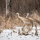 Sandhill Crane 2016-4 by Thomas Young