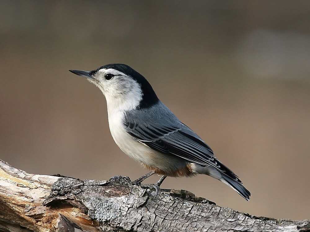 White Breasted Nuthatch by Gregg Williams