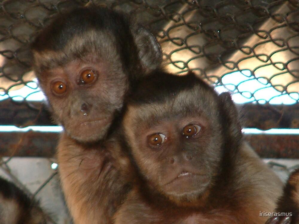 Capuchin Couple by iriserasmus