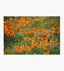 California Poppies 3 Photographic Print