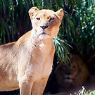 Lions by Mark Moskvitch