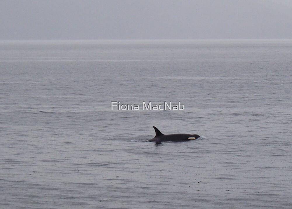 Orca by Fiona MacNab
