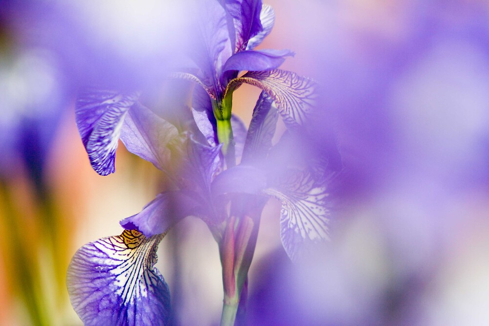 Iris by loggy