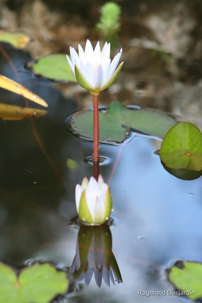 twin water lilies by Raymond Desjardin