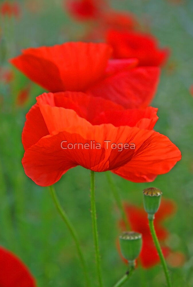 poppy pastels by Cornelia Togea
