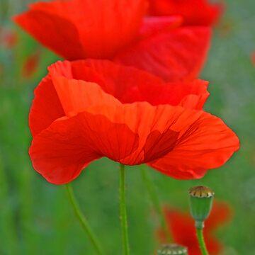 poppy pastels by photolia